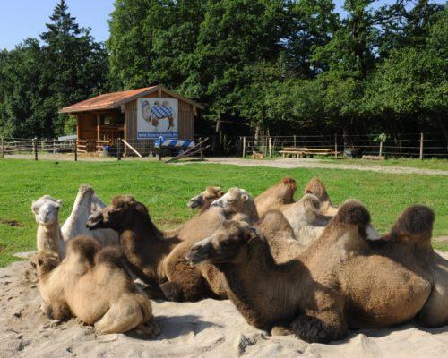 Besuch der Bayern-Kamele